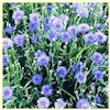 Cornflower, Dwarf Bachelor Button