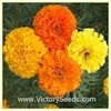 Crackerjack Mix - African Marigold