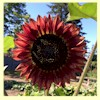 Sunflower - 'Evening Sun'