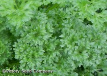 Evergreen Parsley
