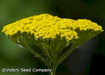 Yarrow, Gold
