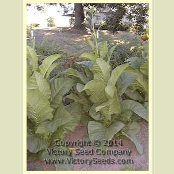 how to get seeds from tobacco plant