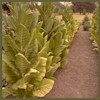 'Click here for tobacco seed' from the web at 'http://www.victoryseeds.com/assets/images/tobacco/tobacco_tn86_small.jpg'