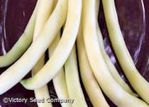 Resistant Cherokee Wax Bush Snap Bean