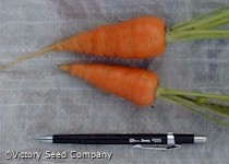 Chantenay Red Cored Carrot