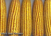 Big Daddy's Yellow Dent Corn