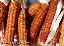 Bronze-Orange Corn