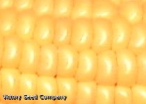 Golden Bantam, Improved 12-Row Corn