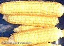 Sunshine Sweet Corn