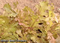 Salad Bowl, Red - Leaf Lettuce