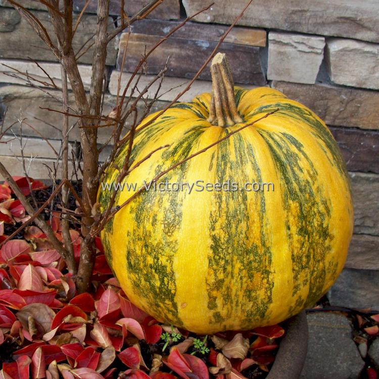Grow Your Own Pepitas with Naked Seeded Pumpkins