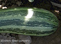 Cocozelle Summer Squash