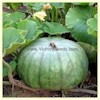 Queensland Blue - Winter Squash