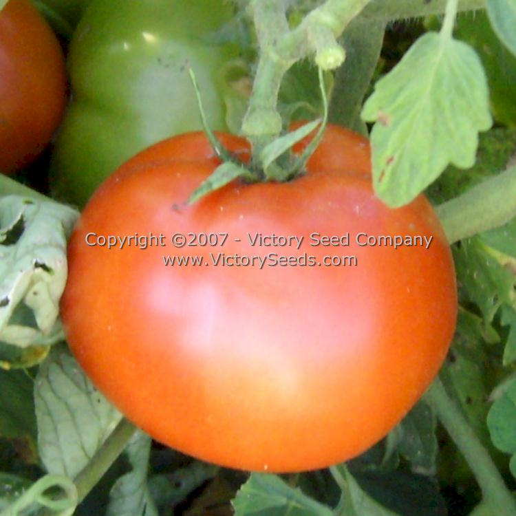 ace 55 tomato seed packet lables