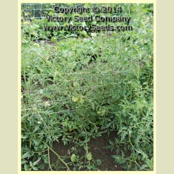 Golden Accordion Tomato Seed - Heirloom, Open-pollinated Seed from the Victory Seed Company