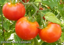 Large German Cherry Tomato
