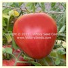 Livingston's Giant Oxheart Tomato