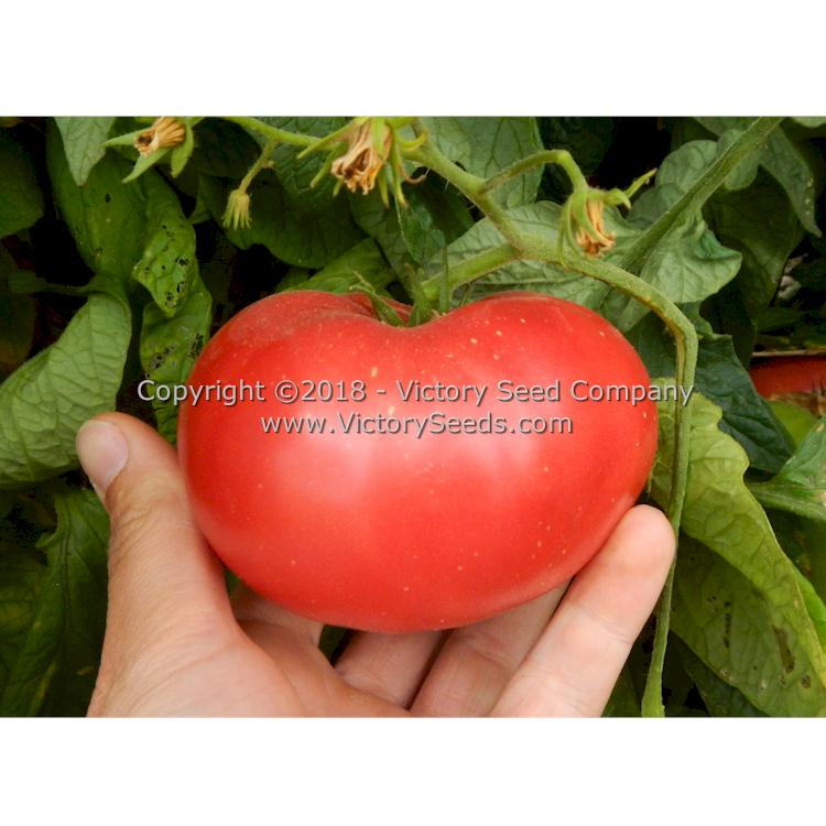 marianna 39 s peace tomato heirloom open pollinated non hybrid victory seeds. Black Bedroom Furniture Sets. Home Design Ideas