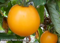 Mingold Tomato<br>Sold Out until 2017