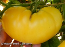 Summer Sweet Gold Tomato