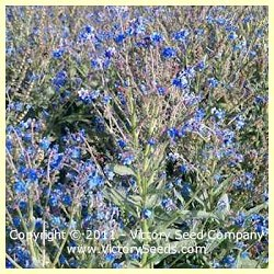 Forget-Me-Nots, Chinese