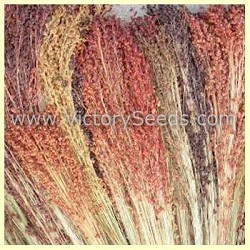 Mixed Colors Broom Corn