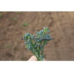 Sorrento Broccoli Raab