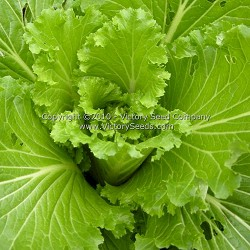 Chinese Michihli Cabbage