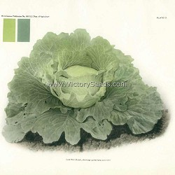 Late Dutch Flat Cabbage