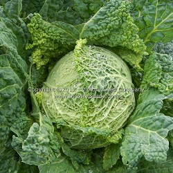 Perfection Cabbage