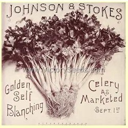 Golden Self Blanching Celery