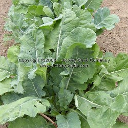 Georgia (Southern) Collards