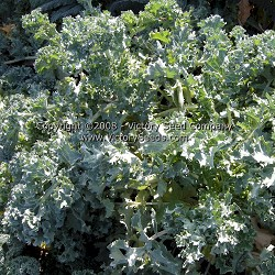 Dwarf Siberian Improved Kale