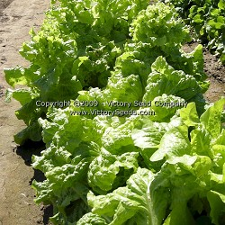 Black Seeded Simpson Leaf Lettuce