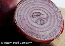 Red Burgundy  (Bermuda) Onion