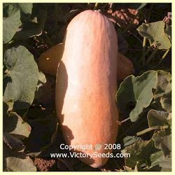 Banana, Pink Jumbo - Winter Squash