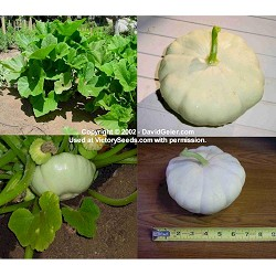 Early White Bush Scallop Summer Squash