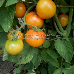 Bi-color Cherry Tomato