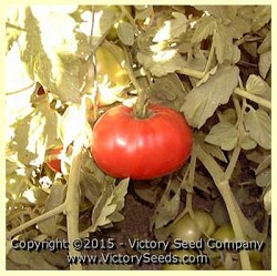 Burgess Mammoth Wonder Tomato
