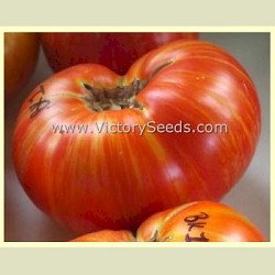 Dwarf Beauty King Tomato
