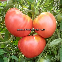 Fish Lake Oxheart Tomato