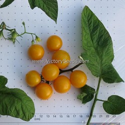 Galina's Yellow Cherry Tomato