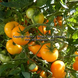 Golden Bison Tomato