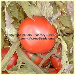 Livingston's Ideal Tomato