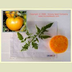 Orange Minsk Tomato