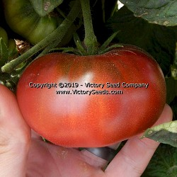 Rosella Purple Tomato