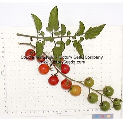 Small Red Cherry Tomato