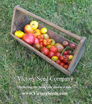 Heirloom Corn (Maize) Seeds from the Victory Seed Company