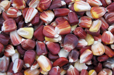 Endangered Texan corn variety, 'Petmecky', now available to the gardening public.