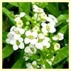 Dwarf Alyssum, Carpet of Snow